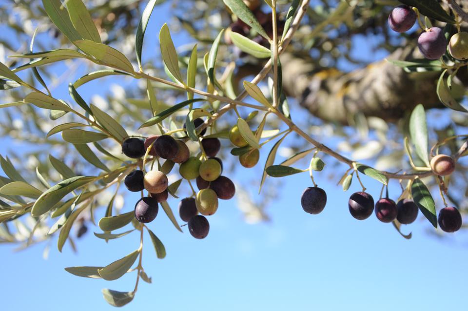 Descubre el aceite de oliva virgen extra en el Priorat